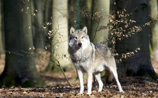Několikaměsíční práce přinesla věrohodné důkazy - v lesích Olomouckého kraje opravdu žijí vzácné šelmy rys ostrovid i vlk obecný