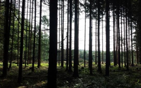 Smrky v polesí Svrčov zničil přemnožený kůrovec, mimo jiné i vlivem dlouhodobého sucha. Nejpozději do dvou let je nahradí buky, duby, habry a lípy